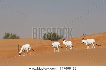 arabian oryxes in a desert of Dubai