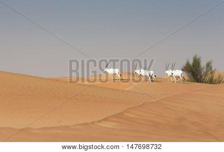 arabian oryxes in a desert near Dubai