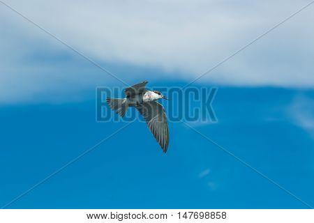 A Tern Bird flying in the sky