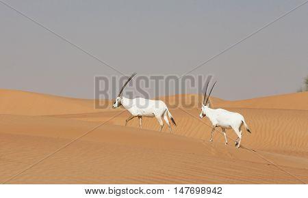 arabian oryxes in the desert near Dubai