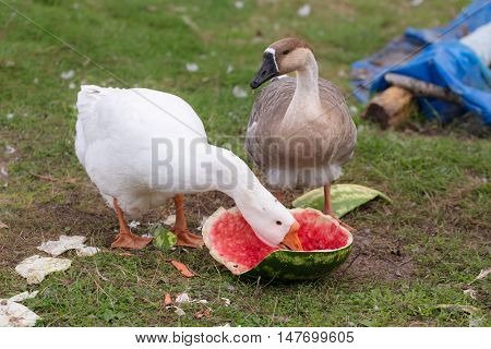 Geese on a farm eating ripe watermelon