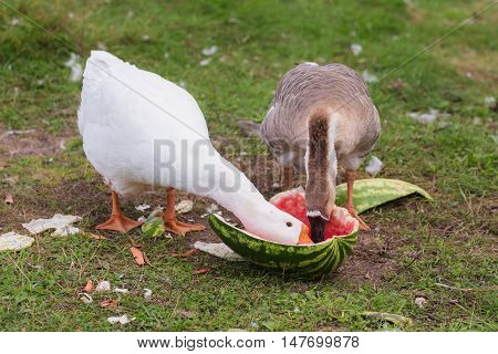 Two geese on a farm eating watermelon closeup