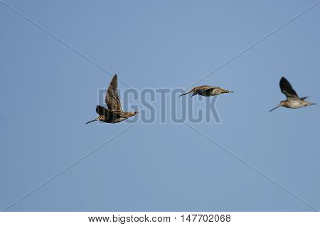Three Wilson's Snipe Flying in a Blue Sky