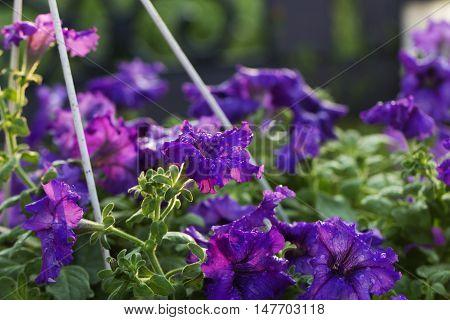 a purple (violet) flower in water drop. a purple petunia flower