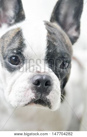 French bulldog 's face in blur background