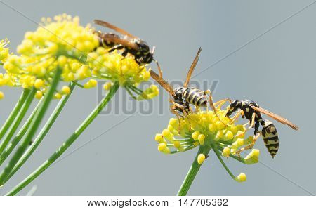 North American Paper Wasp collecting nectar from a fennel plant.