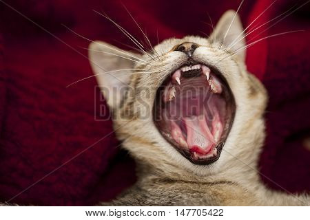 open big mouth of little cat jaws