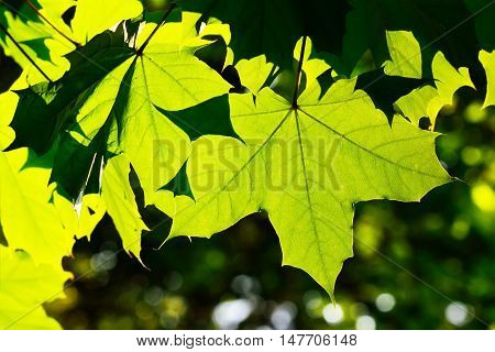 Young Maple leaves closeup on the bright sun