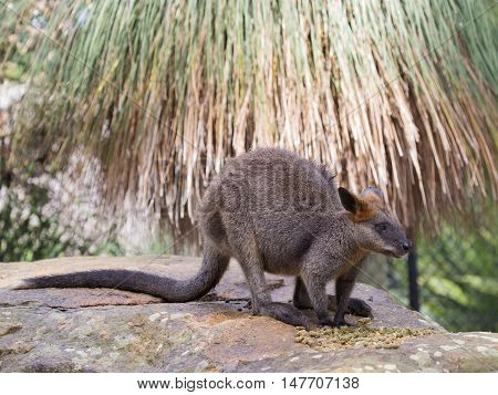 smart funny furry kangaroo with long elastic tail standing on a rock Australia