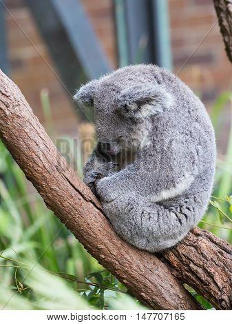 funny furry koala sleeping on a eucalyptus tree branch Australia