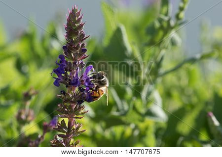 Honeybee collecting nectar from a purple salvia plant.