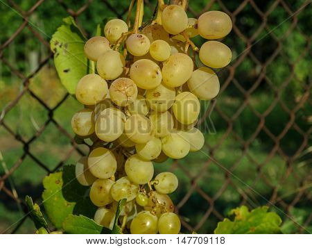 Ripe bunch of grapes of amber in the setting sun