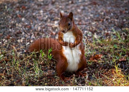 Portrait of red squirrel. Photography of wildlife.