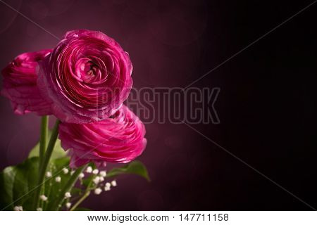 Three pink persian buttercup flowers against dark background