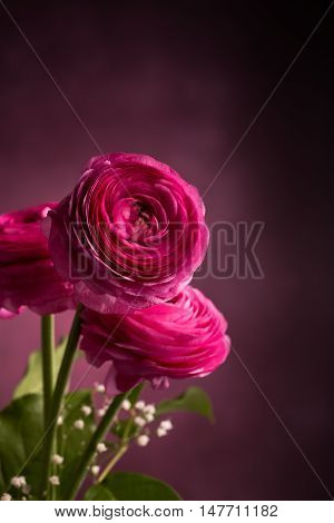 Three pink persian buttercup flowers against dark background vertical. Ranunculus Asiaticus