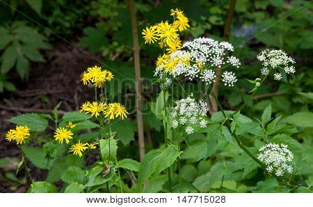 White and yellow flower in summer against blury background, Bialowiza Forest, Poland, Europe
