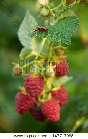 Stink Bug On The Leaf Of Raspberry