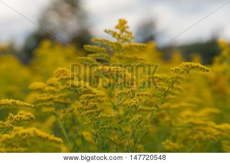 goldenrod flower in a meadow close up
