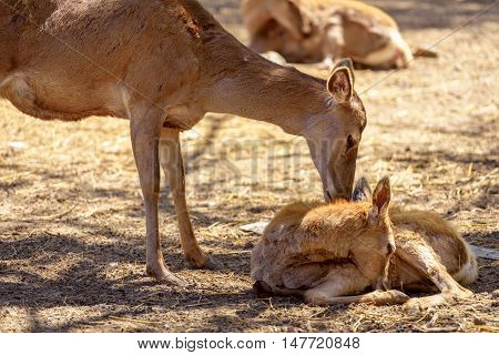Red deer doe famale with her newborn little fawn.