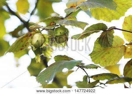 Hazel . Hazelnuts on hazel tree .