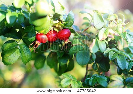 Rosehips. Ripe fruit of wild rose on bush