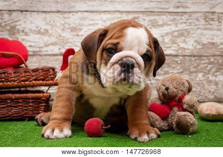 English bulldog puppy on a light background. Subject Valentine's Day