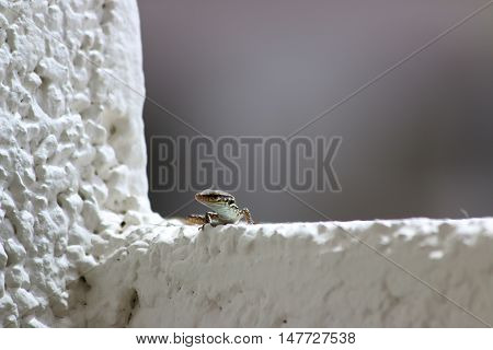 Lizard in Canary Islands also known as Gallotia galloti