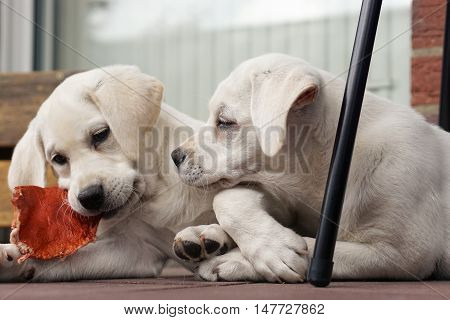 Two Cute Young Labrador Dog Puppies Cuddling Together