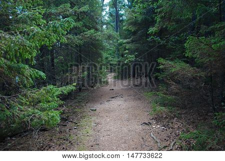 Winding footpath through an untouched coniferous forest Trollskogen at the swedish island Oland in the Baltic Sea