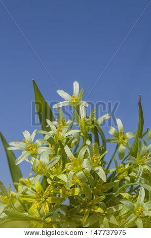 Gagea Lutea  Flowers
