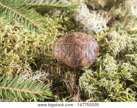 Growing under fir branch mushroom, The natural background.