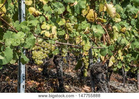 white Wine grapes in the german Region Moselle River Winningen 13