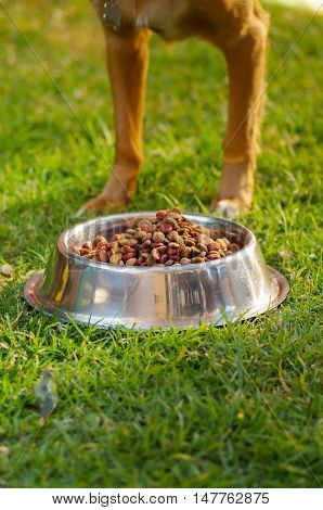 Closeup legs of mixed breed dog standing behind metal bowl with fresh crunchy food sitting on green grass, animal nutrition concept.