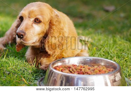 Closeup very cute cocker spaniel dog posing in front of metal bowl with fresh crunchy food sitting on green grass, animal nutrition concept.