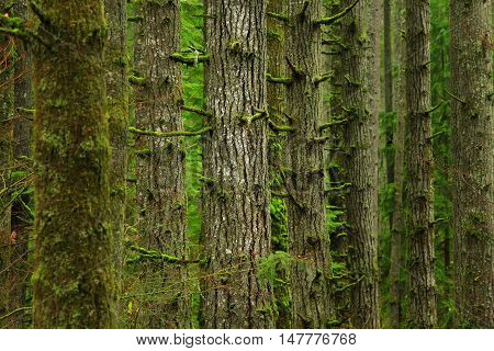 a picture of an exterior Pacific Northwest forest of Douglas fir trees