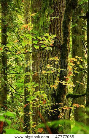 a picture of an exterior Pacific Northwest forest with maple  conifer trees