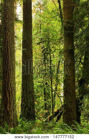 a picture of an exterior Pacific Northwest forest of conifers
