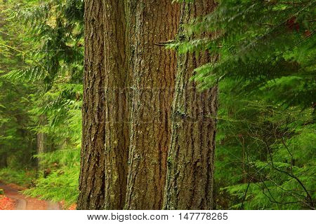 a Picture of an exterior Pacific Northwest forest with a group Douglas fir trees
