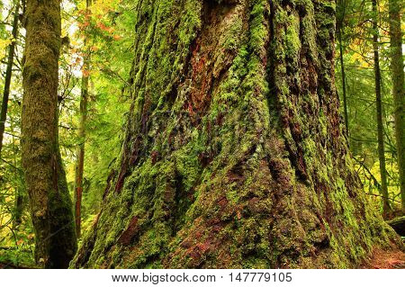 a picture of an exterior Pacific Northwest mossy old growth Douglas fir tree tree