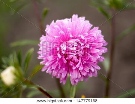 pink asters flowers on a background of green garden pink asters flowers on a background of green garden
