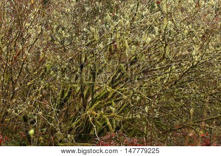a picture of an exterior Pacific Northwest mossy hazel tree in winter