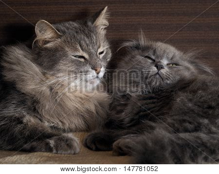 Cat And Kitten Are Sleeping Together. Gray Cats, Fluffy. Very Similar, But Different Breeds