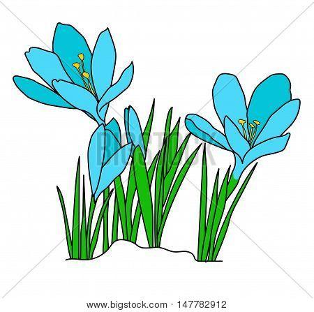 Crocuses. Flowers. Spring flowers. Flowers in snow. illustration picture. Cartoon flowers. Flower. blue flower.