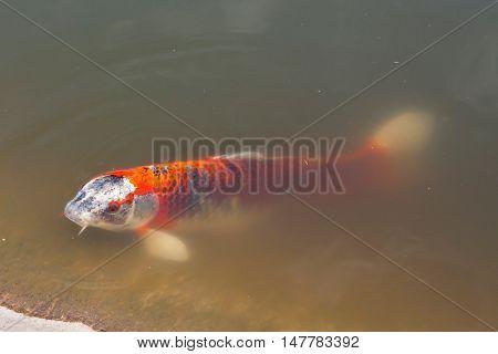 Red carp swimming  in a turbid water.