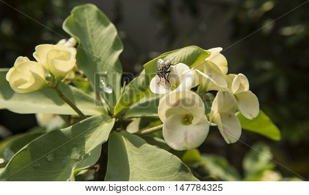 Desert Rose Plants Asia With Large Nectar Eating Flies Feeding.
