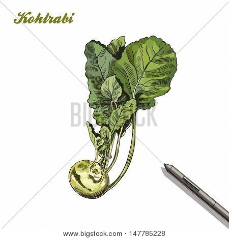 kohlrabi. harvesting. colored illustration made by hand on a white background.