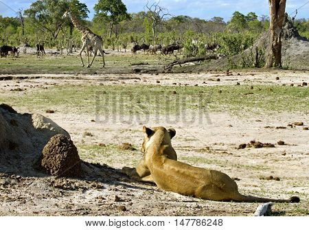 Lioness Stalking a giraffe in the distance in Hwange National Park