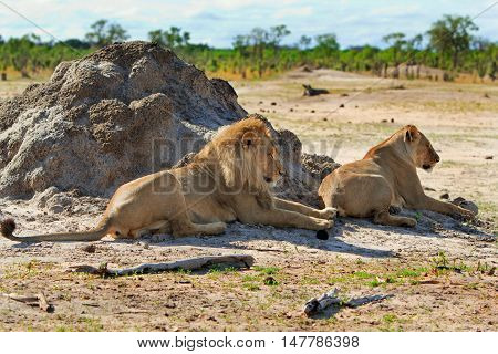 Two lions resting after mating in Hwange national park