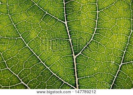 Leaf abstract background texture with veins for background usage