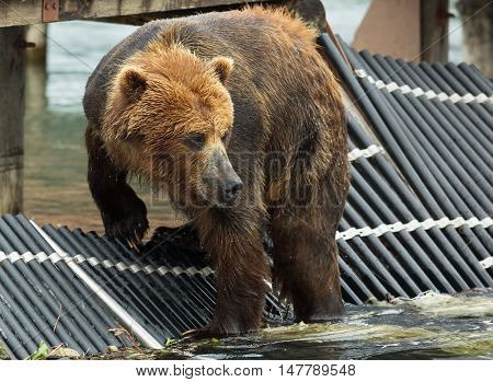 Brown bear waiting for prey on fence to account for fish. Kurile Lake in Southern Kamchatka Wildlife Refuge.